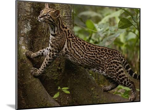 Ocelot (Felis Pardalis) Climbing on Buttress Root, Amazon Rainforest, Ecuador-Pete Oxford-Mounted Photographic Print