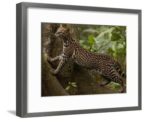 Ocelot (Felis Pardalis) Climbing on Buttress Root, Amazon Rainforest, Ecuador-Pete Oxford-Framed Art Print