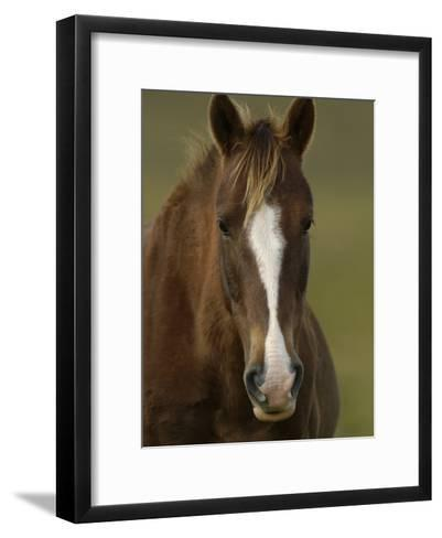 Domestic Horse (Equus Caballus) at a Hacienda in the Andes Mountains, Ecuador-Pete Oxford-Framed Art Print