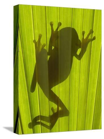 Chachi Tree Frog (Hyla Picturata) Silhouette, Choco Rainforest, Ecuador-Pete Oxford-Stretched Canvas Print