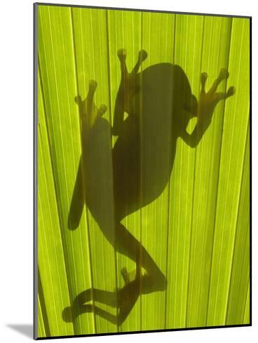 Chachi Tree Frog (Hyla Picturata) Silhouette, Choco Rainforest, Ecuador-Pete Oxford-Mounted Photographic Print