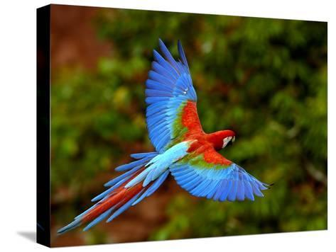 Red and Green Macaw (Ara Chloroptera) Flying, Mato Grosso Do Sul, Brazil-Pete Oxford-Stretched Canvas Print