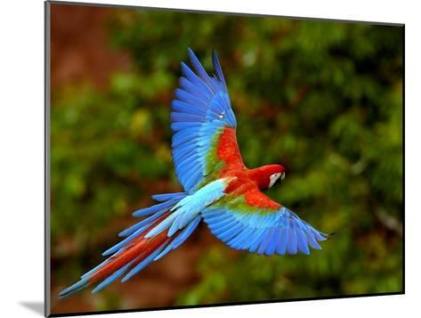 Red and Green Macaw (Ara Chloroptera) Flying, Mato Grosso Do Sul, Brazil-Pete Oxford-Mounted Photographic Print