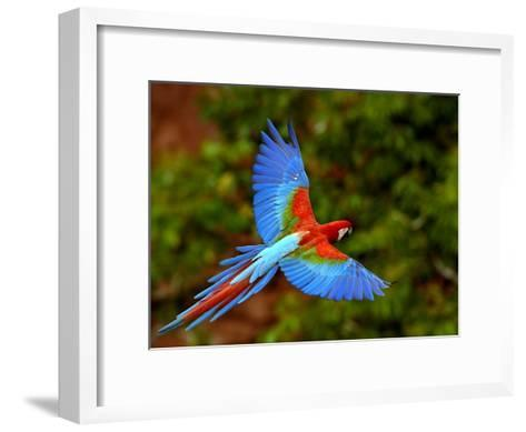 Red and Green Macaw (Ara Chloroptera) Flying, Mato Grosso Do Sul, Brazil-Pete Oxford-Framed Art Print