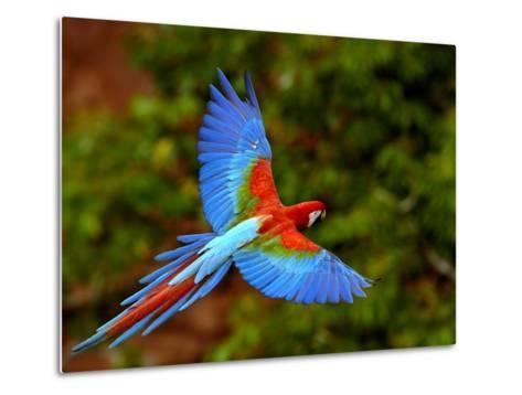 Red and Green Macaw (Ara Chloroptera) Flying, Mato Grosso Do Sul, Brazil-Pete Oxford-Metal Print