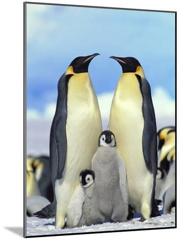 Emperor Penguin (Aptenodytes Forsteri) Parents with Chicks, Antarctica-Konrad Wothe-Mounted Photographic Print