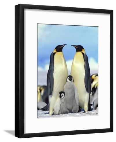 Emperor Penguin (Aptenodytes Forsteri) Parents with Chicks, Antarctica-Konrad Wothe-Framed Art Print