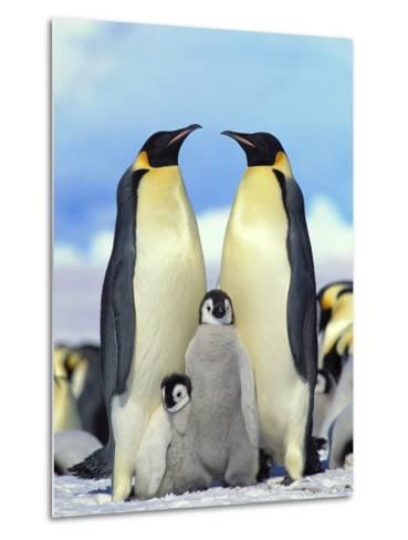 Emperor Penguin (Aptenodytes Forsteri) Parents with Chicks, Antarctica-Konrad Wothe-Metal Print