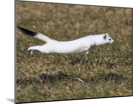 Short-Tailed Weasel (Mustela Erminea) Running, Bavaria, Germany-Konrad Wothe-Mounted Photographic Print