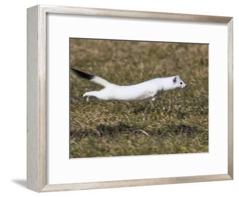 Short-Tailed Weasel (Mustela Erminea) Running, Bavaria, Germany-Konrad Wothe-Framed Art Print
