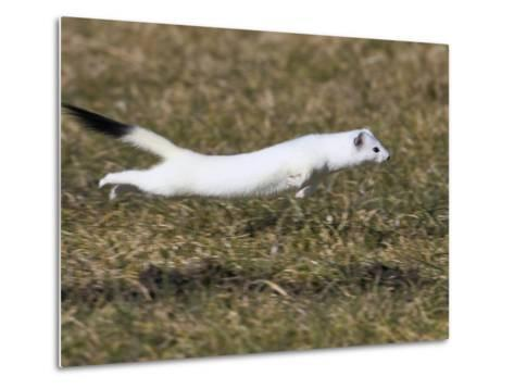 Short-Tailed Weasel (Mustela Erminea) Running, Bavaria, Germany-Konrad Wothe-Metal Print