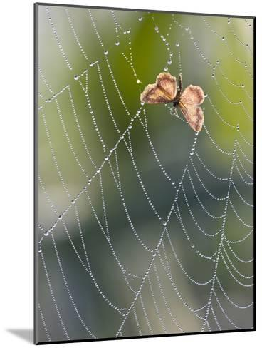Moth in Spiderweb, Bavaria, Germany-Konrad Wothe-Mounted Photographic Print