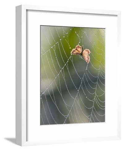 Moth in Spiderweb, Bavaria, Germany-Konrad Wothe-Framed Art Print