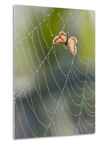 Moth in Spiderweb, Bavaria, Germany-Konrad Wothe-Metal Print