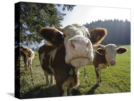 Domestic Cattle (Bos Taurus) on Pasture, Upper Bavaria, Germany-Konrad Wothe-Stretched Canvas Print