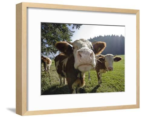 Domestic Cattle (Bos Taurus) on Pasture, Upper Bavaria, Germany-Konrad Wothe-Framed Art Print