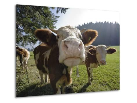 Domestic Cattle (Bos Taurus) on Pasture, Upper Bavaria, Germany-Konrad Wothe-Metal Print