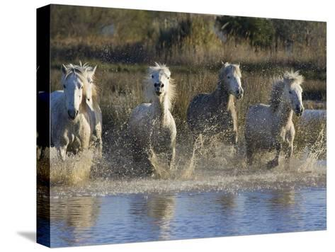 Camargue Horse (Equus Caballus) Group Running in Water, Camargue, France-Konrad Wothe-Stretched Canvas Print