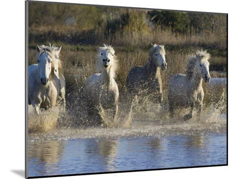 Camargue Horse (Equus Caballus) Group Running in Water, Camargue, France-Konrad Wothe-Mounted Photographic Print