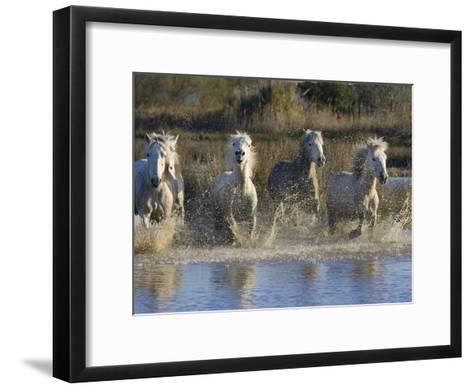 Camargue Horse (Equus Caballus) Group Running in Water, Camargue, France-Konrad Wothe-Framed Art Print