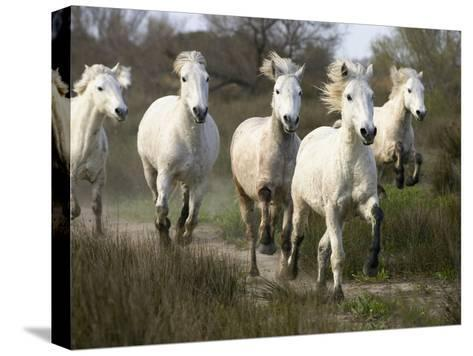 Camargue Horse (Equus Caballus) Group Running, Camargue, France-Konrad Wothe-Stretched Canvas Print