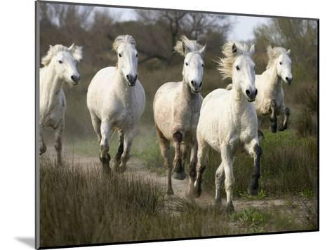 Camargue Horse (Equus Caballus) Group Running, Camargue, France-Konrad Wothe-Mounted Photographic Print