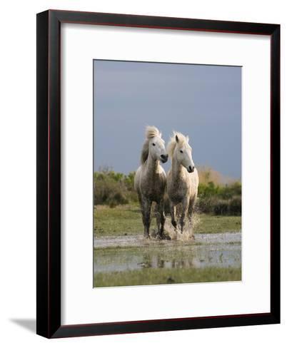 Camargue Horse (Equus Caballus) Pair Running in Water, Camargue, France-Konrad Wothe-Framed Art Print