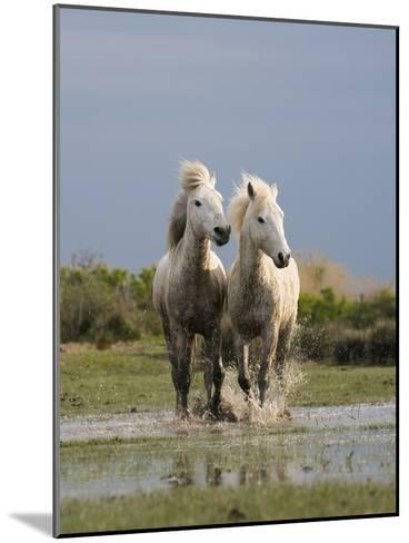 Camargue Horse (Equus Caballus) Pair Running in Water, Camargue, France-Konrad Wothe-Mounted Photographic Print