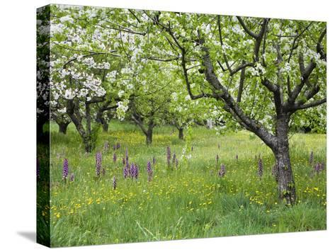 Orchard with Flowering Orchids and Wildflowers, Provence, Southern France-Konrad Wothe-Stretched Canvas Print