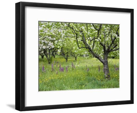Orchard with Flowering Orchids and Wildflowers, Provence, Southern France-Konrad Wothe-Framed Art Print