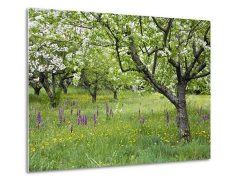 Orchard with Flowering Orchids and Wildflowers, Provence, Southern France-Konrad Wothe-Metal Print