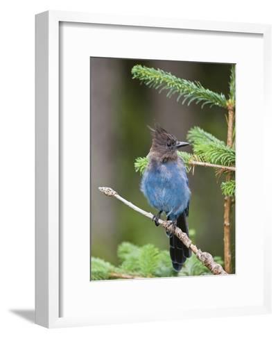 Steller's Jay (Cyanocitta Stelleri) in Pine, Mount Rainier National Park, Washington-Konrad Wothe-Framed Art Print