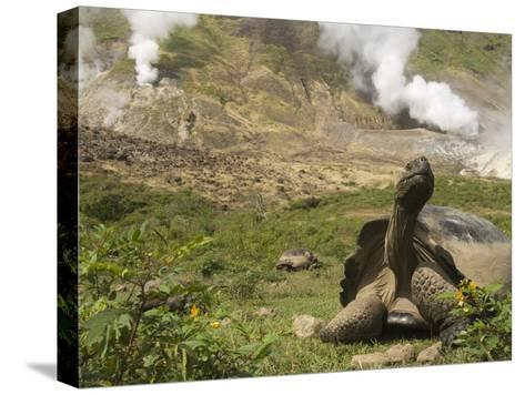 Volcan Alcedo Giant Tortoise (Geochelone Nigra Vandenburghi) and Steam Vent, Galapagos-Pete Oxford-Stretched Canvas Print