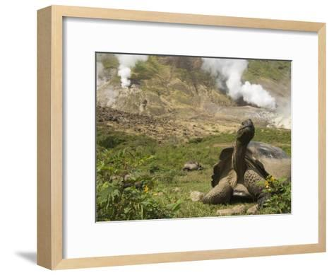 Volcan Alcedo Giant Tortoise (Geochelone Nigra Vandenburghi) and Steam Vent, Galapagos-Pete Oxford-Framed Art Print