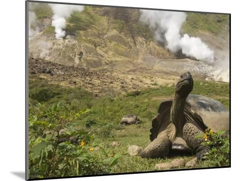 Volcan Alcedo Giant Tortoise (Geochelone Nigra Vandenburghi) and Steam Vent, Galapagos-Pete Oxford-Mounted Photographic Print