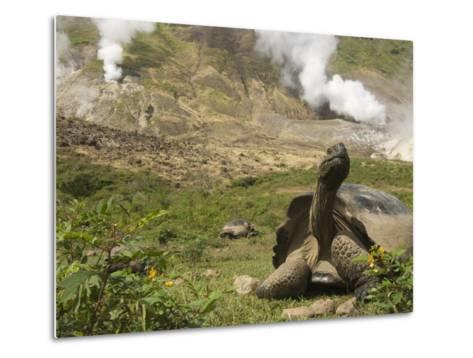 Volcan Alcedo Giant Tortoise (Geochelone Nigra Vandenburghi) and Steam Vent, Galapagos-Pete Oxford-Metal Print