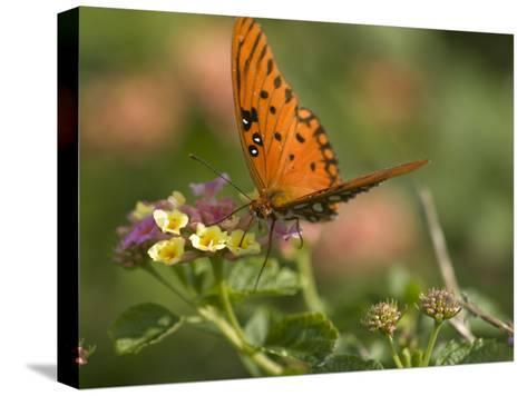 A Gulf Fritillary Butterfly Sipping Nectar from a Flower-Brian Gordon Green-Stretched Canvas Print