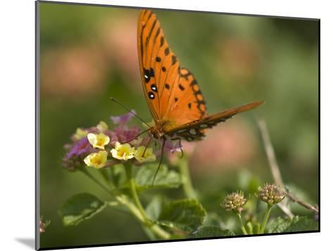 A Gulf Fritillary Butterfly Sipping Nectar from a Flower-Brian Gordon Green-Mounted Photographic Print