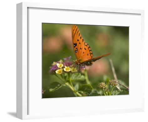 A Gulf Fritillary Butterfly Sipping Nectar from a Flower-Brian Gordon Green-Framed Art Print