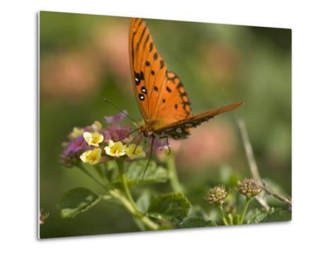 A Gulf Fritillary Butterfly Sipping Nectar from a Flower-Brian Gordon Green-Metal Print