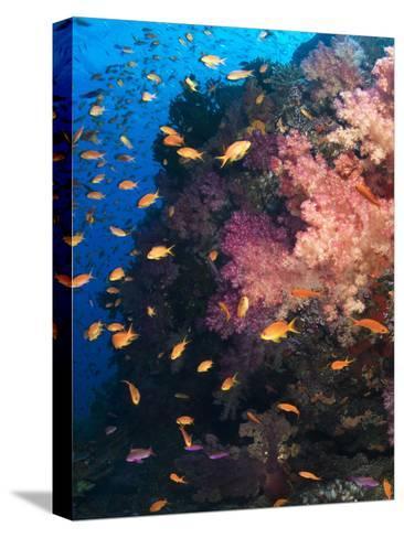 Anthias Schooling around a Soft Coral Garden-Mauricio Handler-Stretched Canvas Print