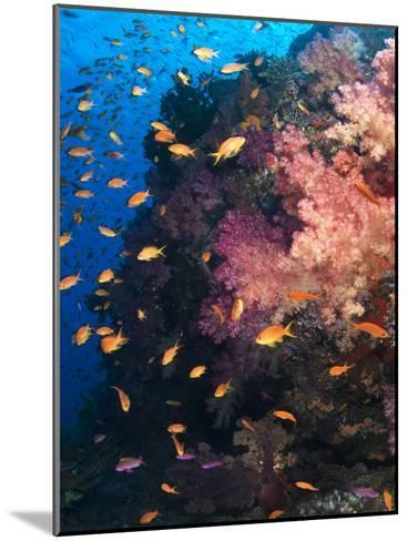 Anthias Schooling around a Soft Coral Garden-Mauricio Handler-Mounted Photographic Print