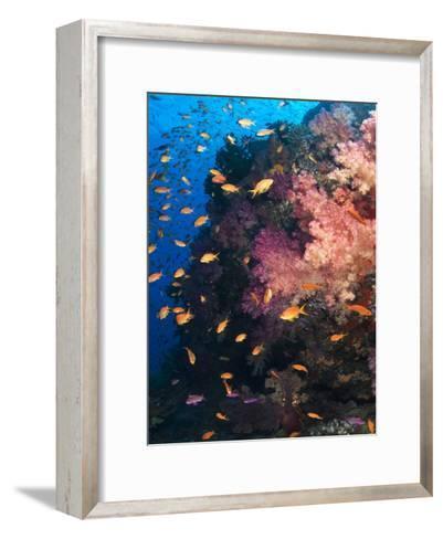 Anthias Schooling around a Soft Coral Garden-Mauricio Handler-Framed Art Print