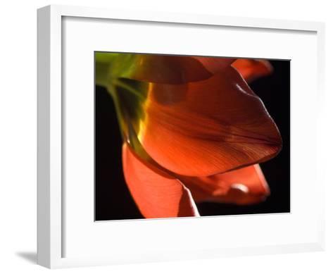 Sunlight on a Red Tulip Petal-Karen Kasmauski-Framed Art Print