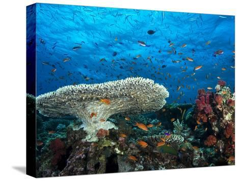 A Pristine Coral Reef Scene Off the Coast of Viti Levu Island-Mauricio Handler-Stretched Canvas Print