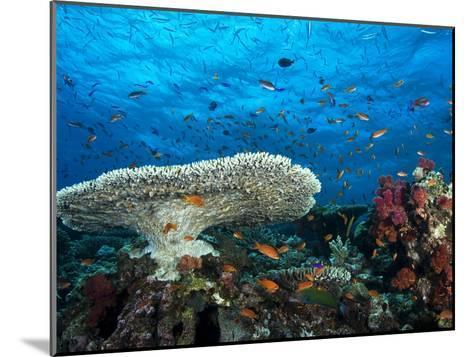 A Pristine Coral Reef Scene Off the Coast of Viti Levu Island-Mauricio Handler-Mounted Photographic Print