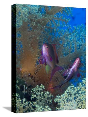 Threadfin Anthias, Pseudanthias Huchti Swim Amongst Soft Corals-Mauricio Handler-Stretched Canvas Print