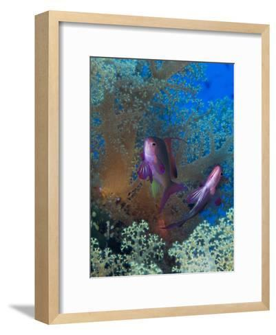 Threadfin Anthias, Pseudanthias Huchti Swim Amongst Soft Corals-Mauricio Handler-Framed Art Print