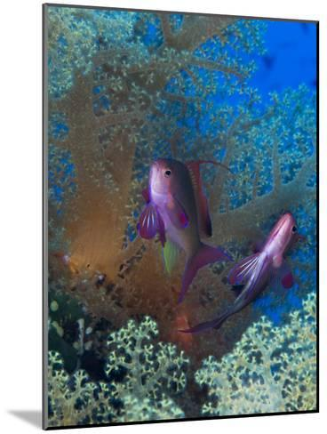 Threadfin Anthias, Pseudanthias Huchti Swim Amongst Soft Corals-Mauricio Handler-Mounted Photographic Print