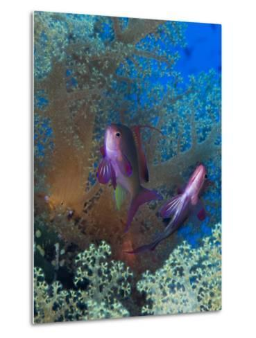 Threadfin Anthias, Pseudanthias Huchti Swim Amongst Soft Corals-Mauricio Handler-Metal Print